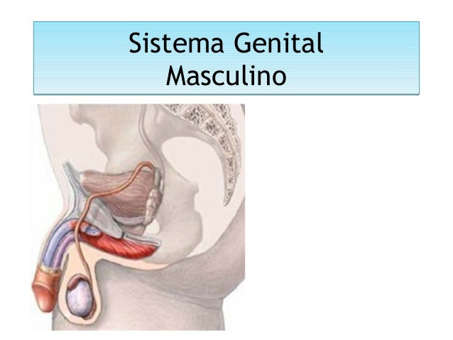 Sistema Genital Masculino Sistema Genital Masculino