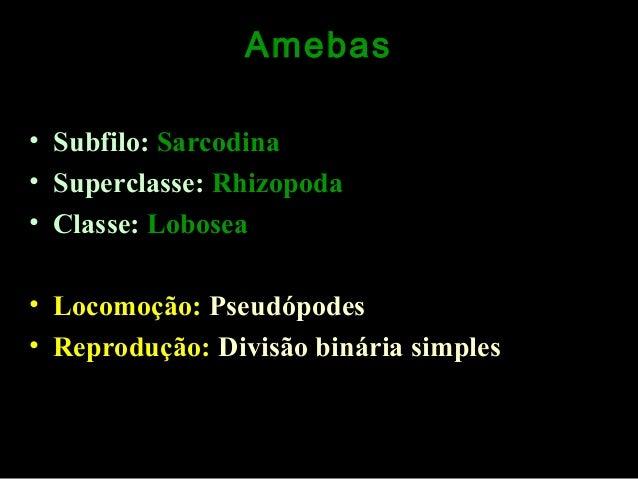 Amebas • Subfilo: Sarcodina • Superclasse: Rhizopoda • Classe: Lobosea • Locomoção: Pseudópodes • Reprodução: Divisão biná...