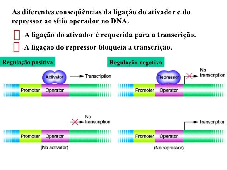 As diferentes conseqüências da ligação do ativador e do repressor ao sítio operador no DNA.  Regulação positiva Regulação ...