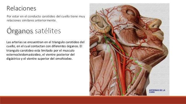 Cual Es La Funcion Que Realiza El Musculo Esternocleidomastoideo ...