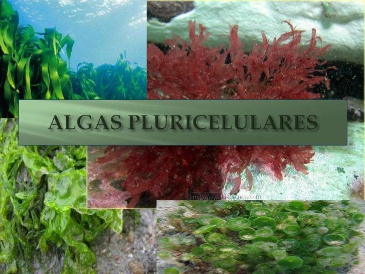 ALGAS PLURICELULARES<br />