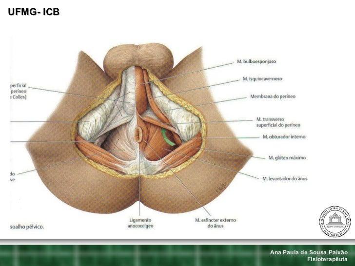 Lujo Músculo Pélvico Anatomía Mri Colección - Anatomía de Las ...