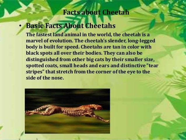 cheetah essay in english