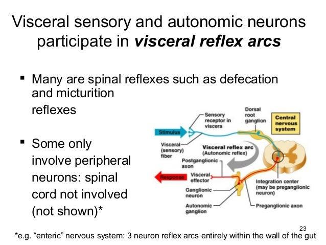 Autonomic nervous system certain visceral organs 23 ccuart Gallery