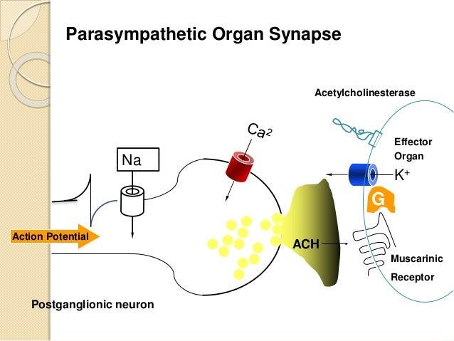 Autonomic nervous system action potential ccuart Image collections