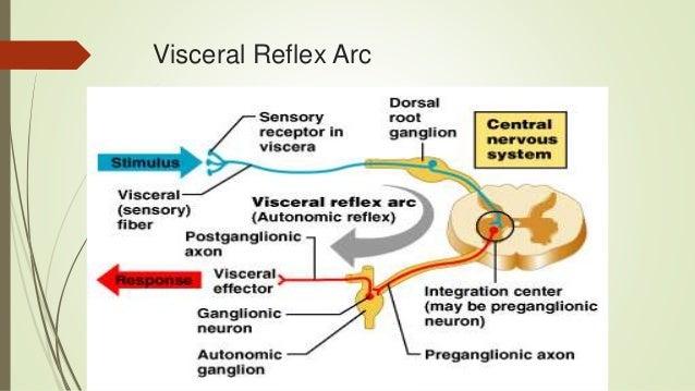 Autonomic nervous system postganglionic neuron 7 visceral reflex arc ccuart Gallery