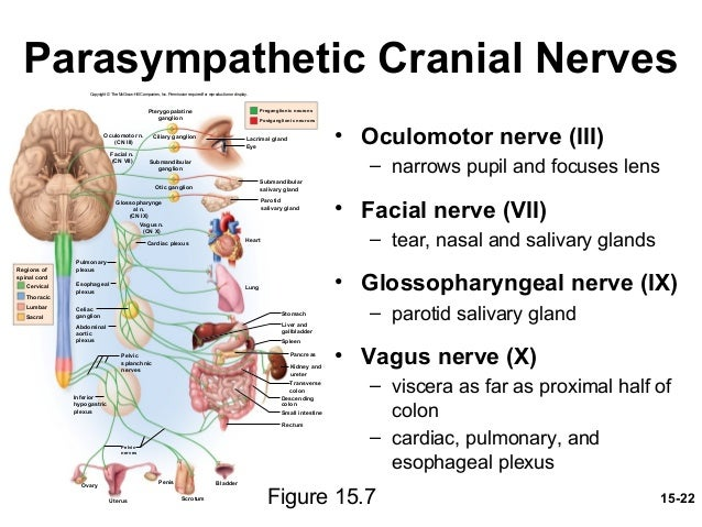Autonomic Nervous System And Visceral Reflexes