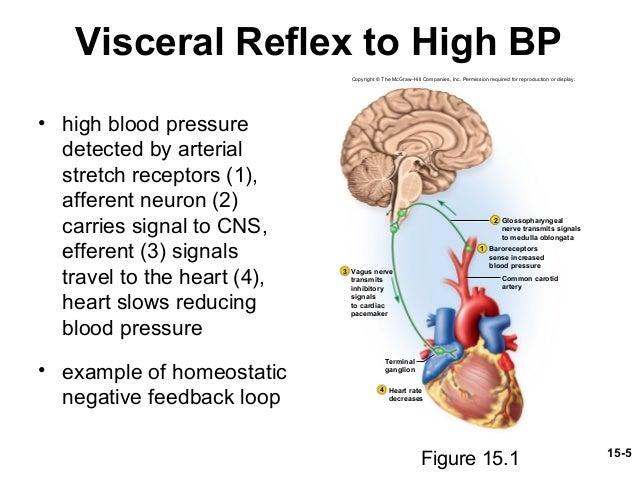 Autonomic nervous system and visceral reflexes modifies effector activity 5 15 5 visceral reflex ccuart Gallery