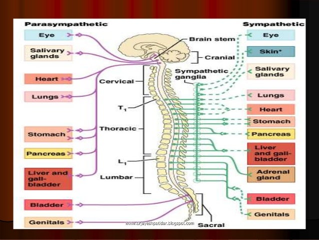 Neurotransmitters the nervous system