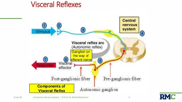 Autonomic nervous system visceral reflexes components ccuart Gallery