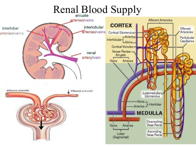 renal blood flow and gfr relationship problems