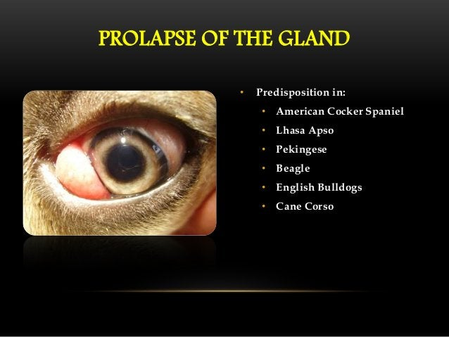 PROLAPSE OF THE GLAND  • Surgical replacement of the gland is  indicated (Helper et al, 1974; Chang & Lin, 1980)  • Severa...
