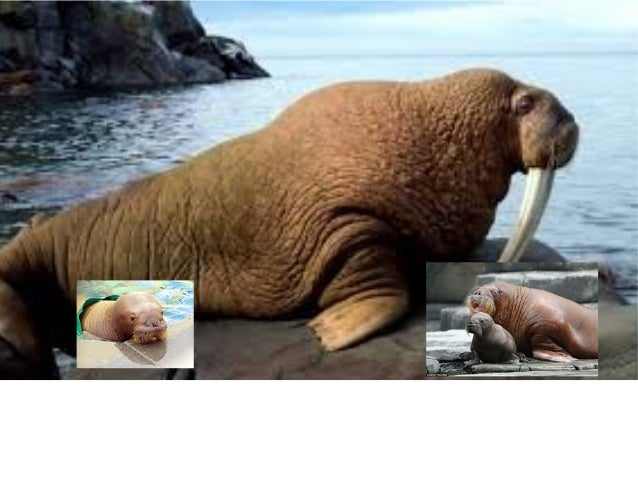 Intro •Today we are going to learn about the beautiful walrus. •We will learn their adaptions, environment, and nutritiona...
