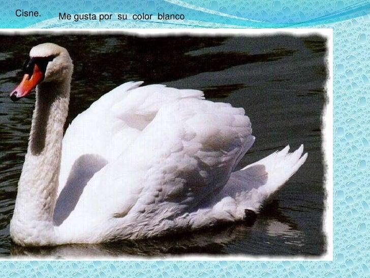 Cisne.<br />Me gusta por  su  color  blanco<br />