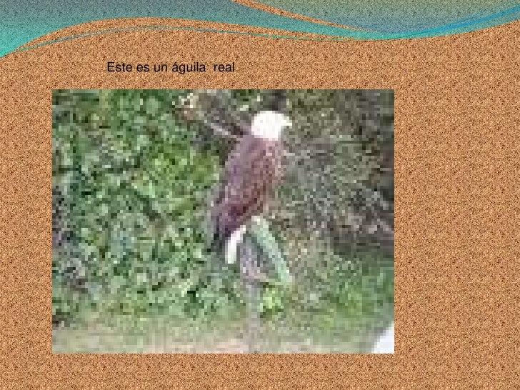 Este es un águila  real<br />