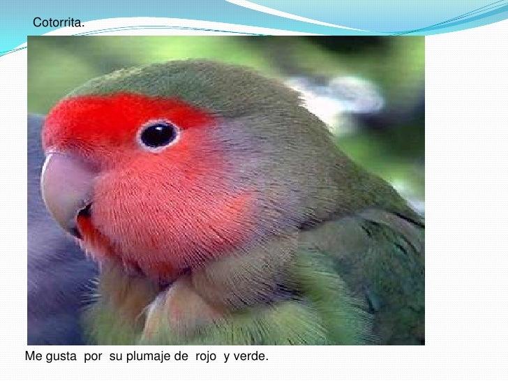 Cotorrita.<br />Me gusta  por  su plumaje de  rojo  y verde.<br />