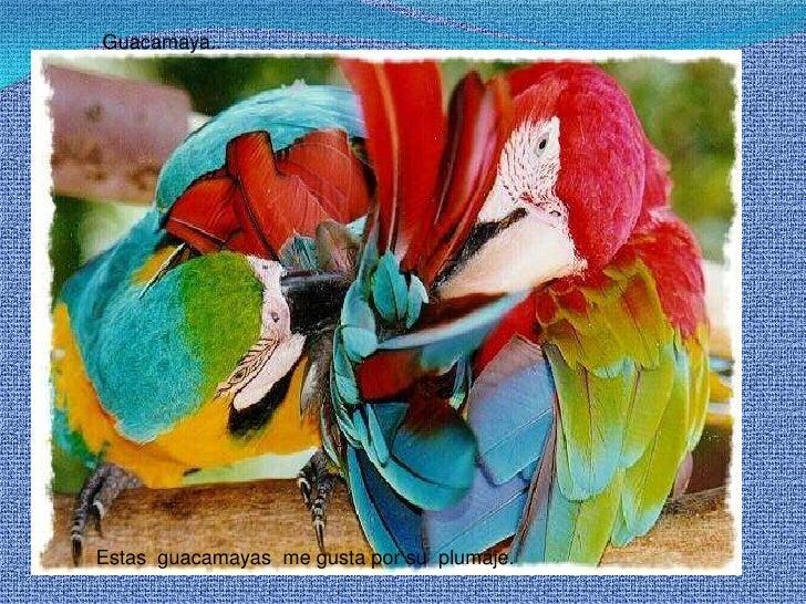 Guacamaya..<br />Estas  guacamayas  me gusta por su  plumaje.<br />