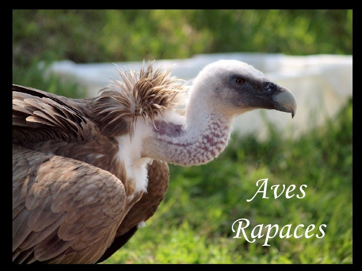 AvesRapaces