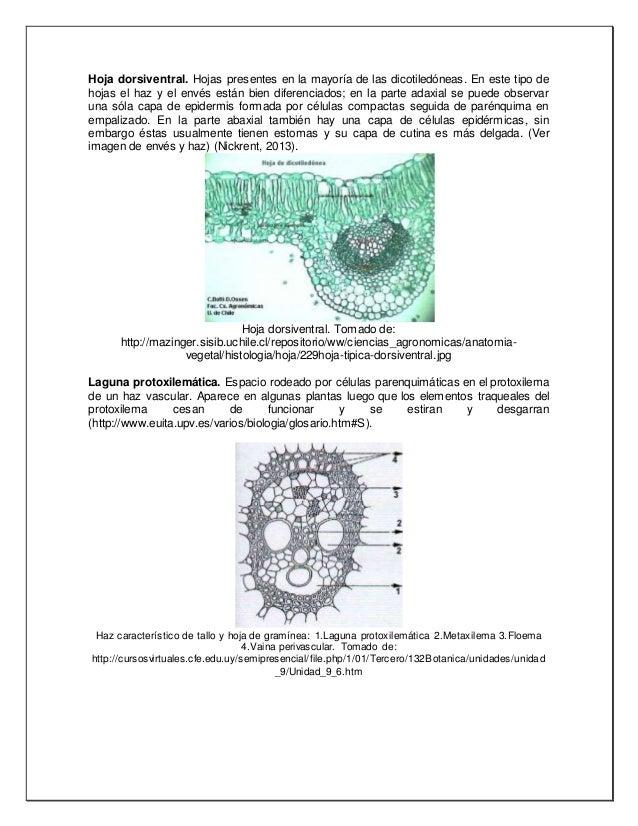 Anatomía vegetal Glosario 3 cuerpo primario