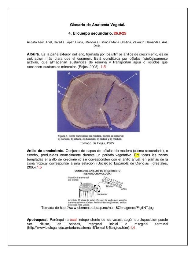 Anatomía vegetal Glosario 4 cuerpo secundario