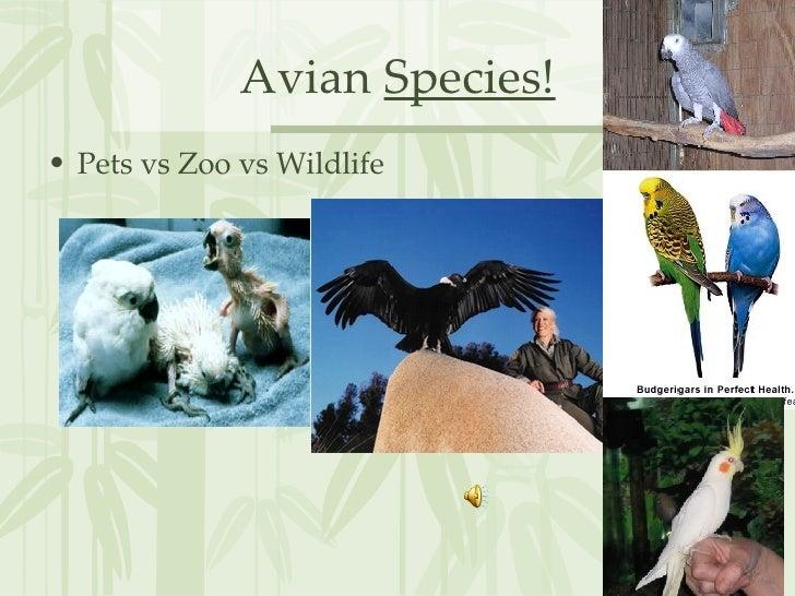 Avian  Species! <ul><li>Pets vs Zoo vs Wildlife </li></ul>