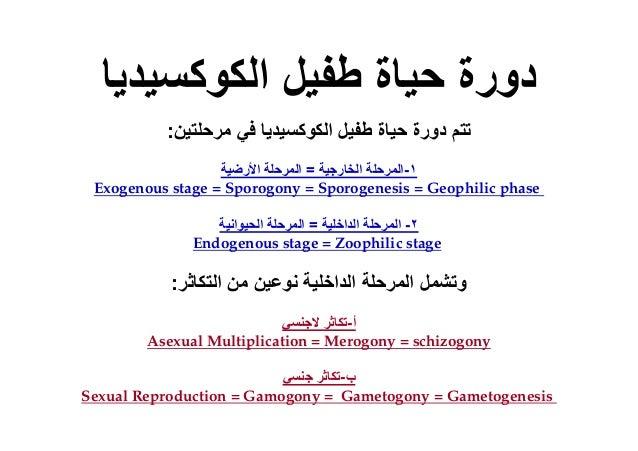 ٢-الداخلية المرحلة=الحيوانية المرحلة Endogenous stage = Zoophilic stage أ-الجنسي تكاثر Asexual Multiplicatio...
