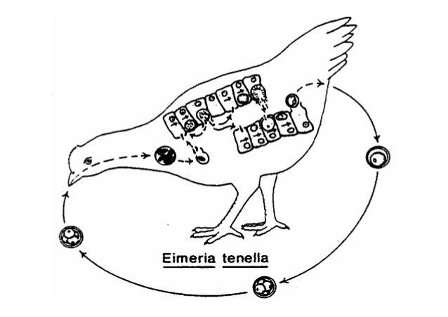 ب-جنسي تكاثر Sexual Reproduction = Gamogony = Gametogony = Gametogenesis ا و ا ت وز م ا ا ء اإ...