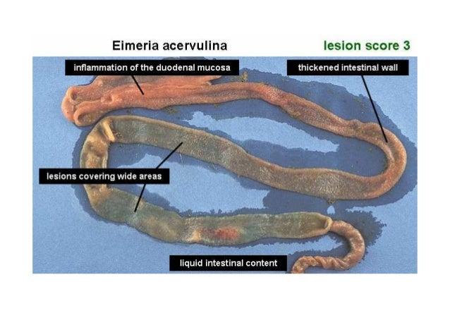 ومستمرة ومحكومة ضعيفة عدوي لحدوث يؤدي البرنامج وھذا Controlled infectionControlled infectionاأليميريا ب...