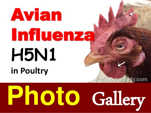 BIRD FLU in chickens, Avian Influenza Symptoms, H5N1 virus
