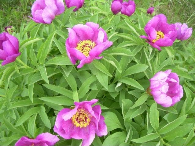 A Nagy-mező – Arany-hegy védett növény fajai Agárkosbor Bodzaszagú ujjaskosbor Bíboros kosbor Árlevelű len Borzas len Bunk...