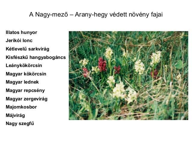 Magyar zergevirág