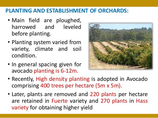 Package of Practices of Avocado