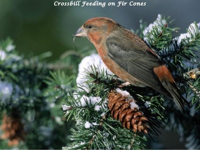 Crossbill Feeding on Fir Cones