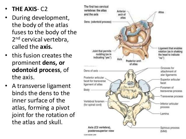 Axial Skeleton Traverse Process Diagram Circuit Connection Diagram