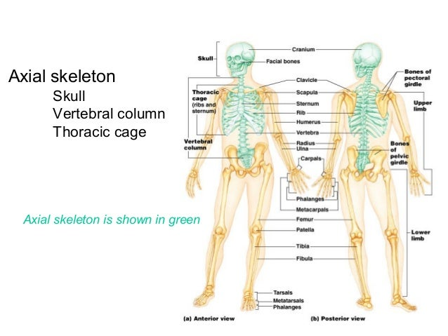 Index likewise 1826582 additionally Anatomi together with 13597123 also Cvbv. on cranial body cavity