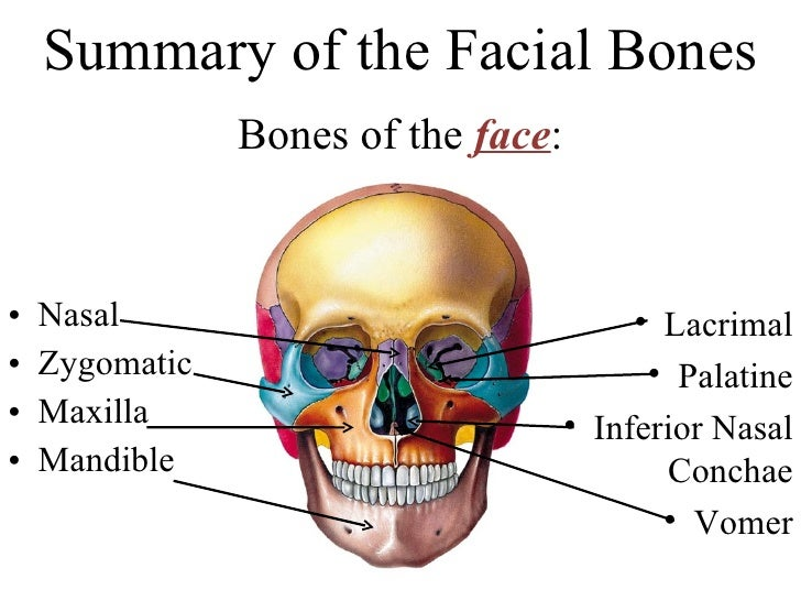 Facial Bones Anatomy Choice Image Human Body Anatomy