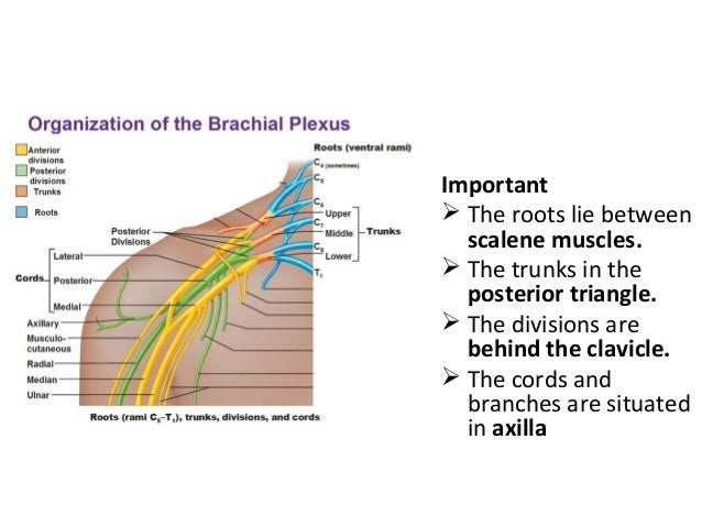Important  The roots lie between scalene muscles.  The trunks in the posterior triangle.  The divisions are behind the ...