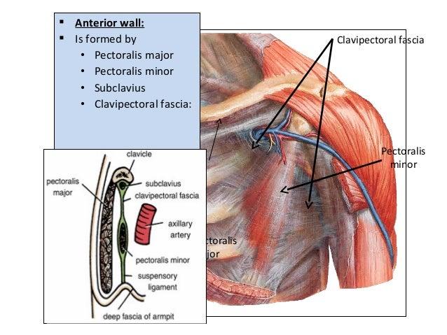  Anterior wall:  Is formed by • Pectoralis major • Pectoralis minor • Subclavius • Clavipectoral fascia: Pectoralis majo...
