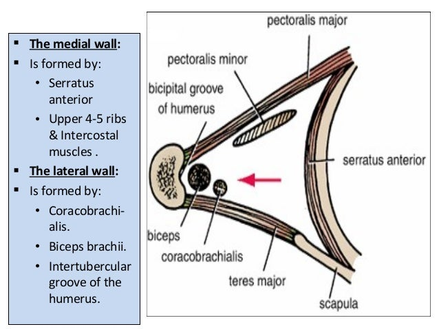  The medial wall:  Is formed by: • Serratus anterior • Upper 4-5 ribs & Intercostal muscles .  The lateral wall:  Is f...