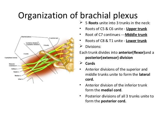 Organization of brachial plexus  5 Roots unite into 3 trunks in the neck: • Roots of C5 & C6 unite - Upper trunk • Root o...