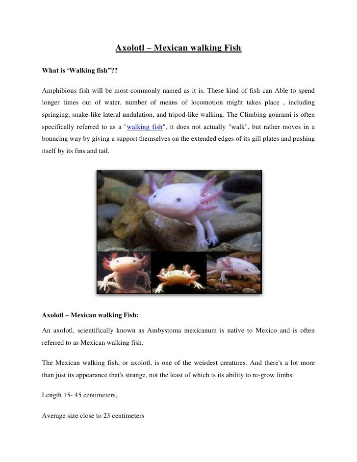 "Axolotl – Mexican walking Fish<br />What is 'Walking fish""??<br />Amphibious fish will be most commonly named as it is. Th..."