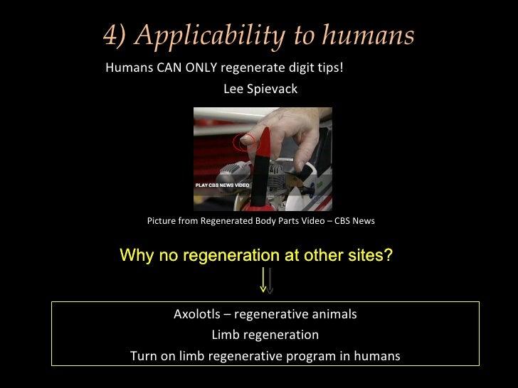 Axolotl regeneration