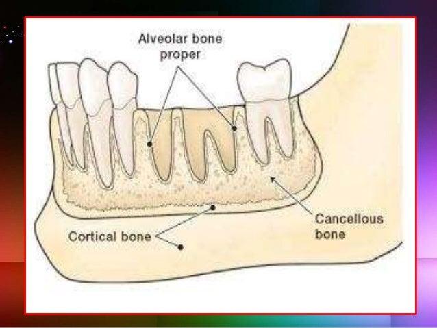 Alveolar bone_ Dr. Ayesha Taha