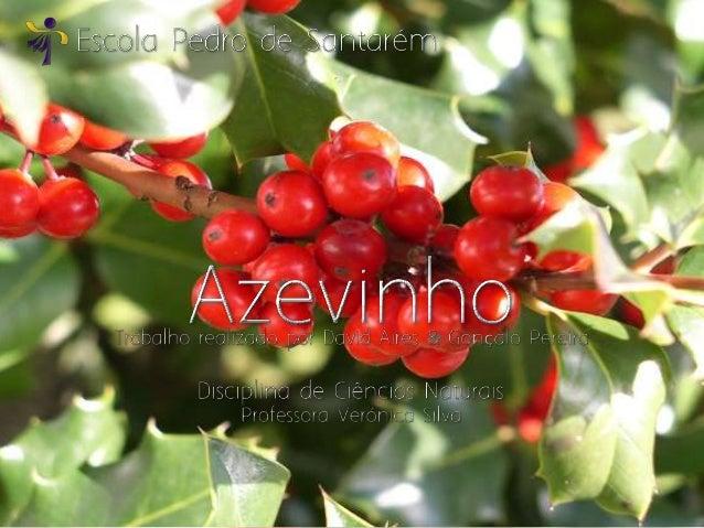 O Azevinho – cujo nome científico é Ilex Aquifolium– faz parte da Tradição Natalícia, talvez por isso seencontre em vias d...