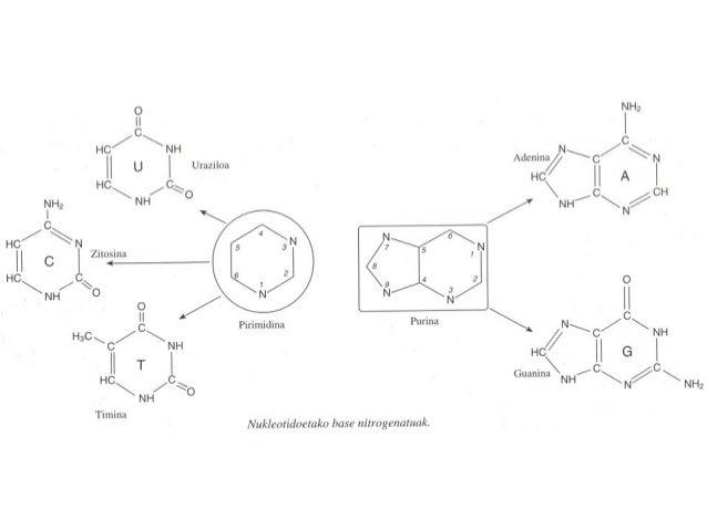 Nukleosidoak Base nitrogenatua Erribonukleosidoa Desoxirribonukleosidoa Adenina (A) Guanina (G) Zitosina (C) Uraziloa (U) ...