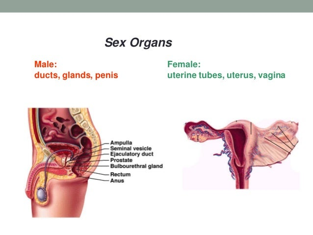 B1 Male Female Reproductive Anatomy