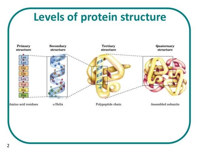 protei structure diagram b.sc. biochem ii biomolecule i u 3.1 structure of proteins #11