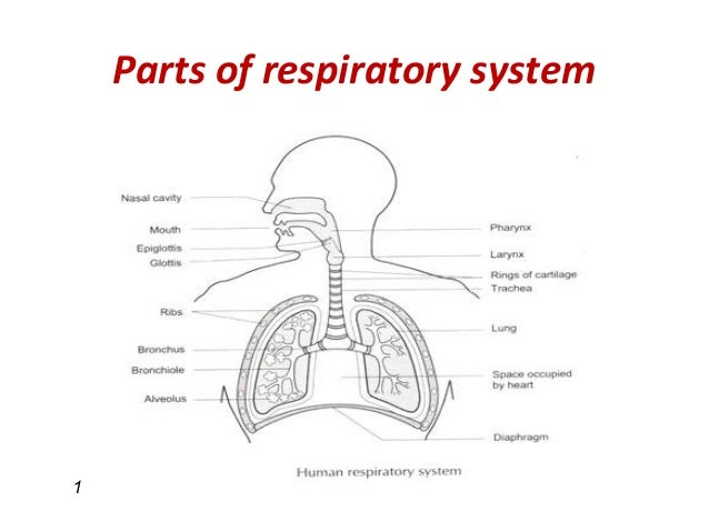 diseases of the respiratory system essay As you learn about the various diseases that affect the respiratory system, it is  important for you to understand the structures that can be affected by disease.