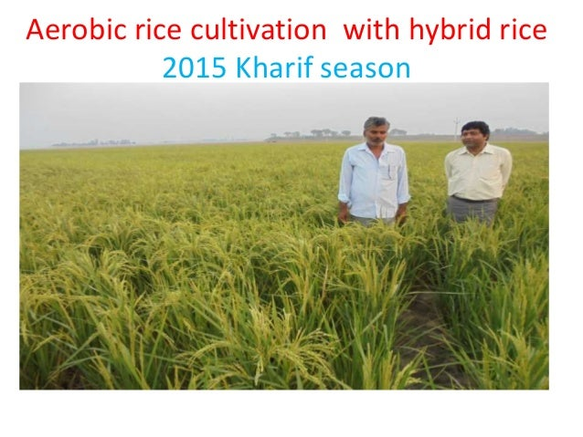 thesis on aerobic rice Technologies for water-saving irrigation in rice 535 massively adopted by farmers (li 2001) aerobic rice is a new concept to further.