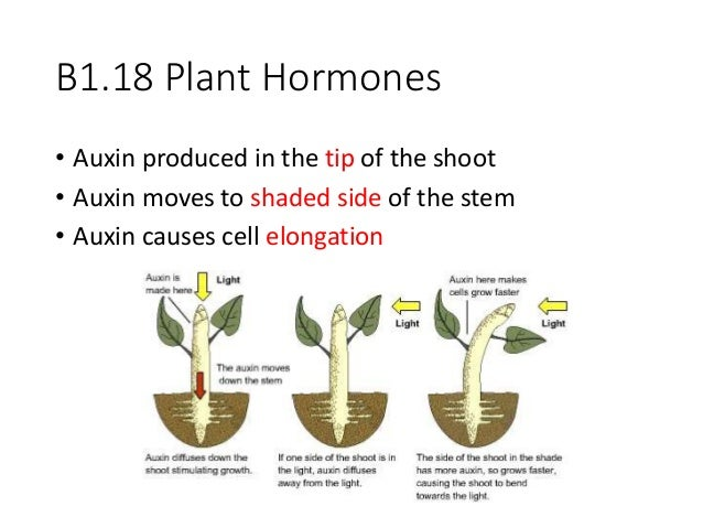 auxin essential plant hormones Auxin are essential plant hormones that promote the lengthening of the cell, which is a critical step before the cell goes through cell differentiation.